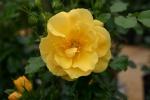 Rose Ardha Courtyard Foto rosen-direct