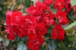 Rose Centennaire de Lourdes Rouge Foto Rosen-direct