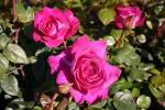 Rose Chartreuse de Parme Foto  Brandt
