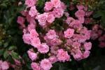 Rose The Fairy Foto Rosen-direct