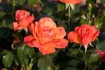 Rose: Living Easy Foto Rosen-Direct.de