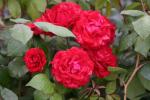 Rose: Paul's Scarlet Climber Foto Rosen-Direct.de
